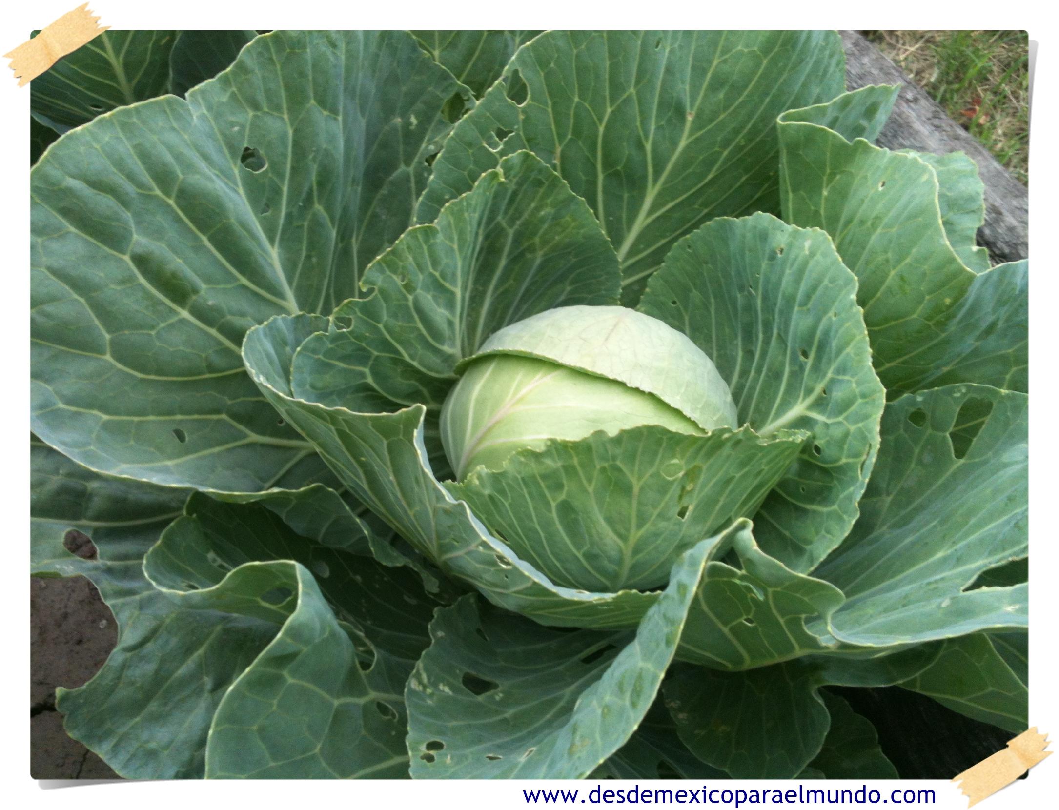 Repollo (Col) // Cabbage